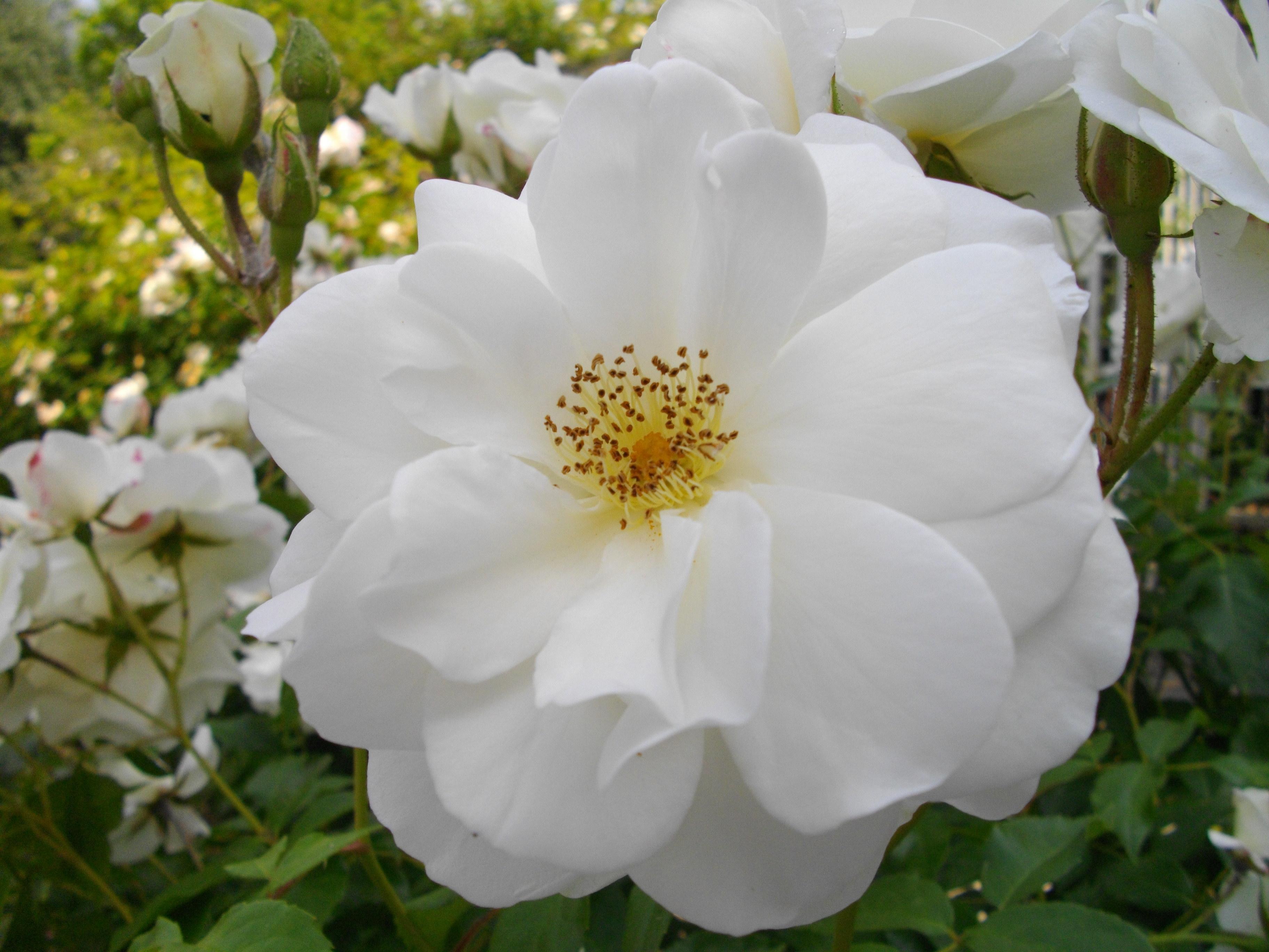 Http Commons Wikimedia Org Wiki File Fleur Blanche Jpg