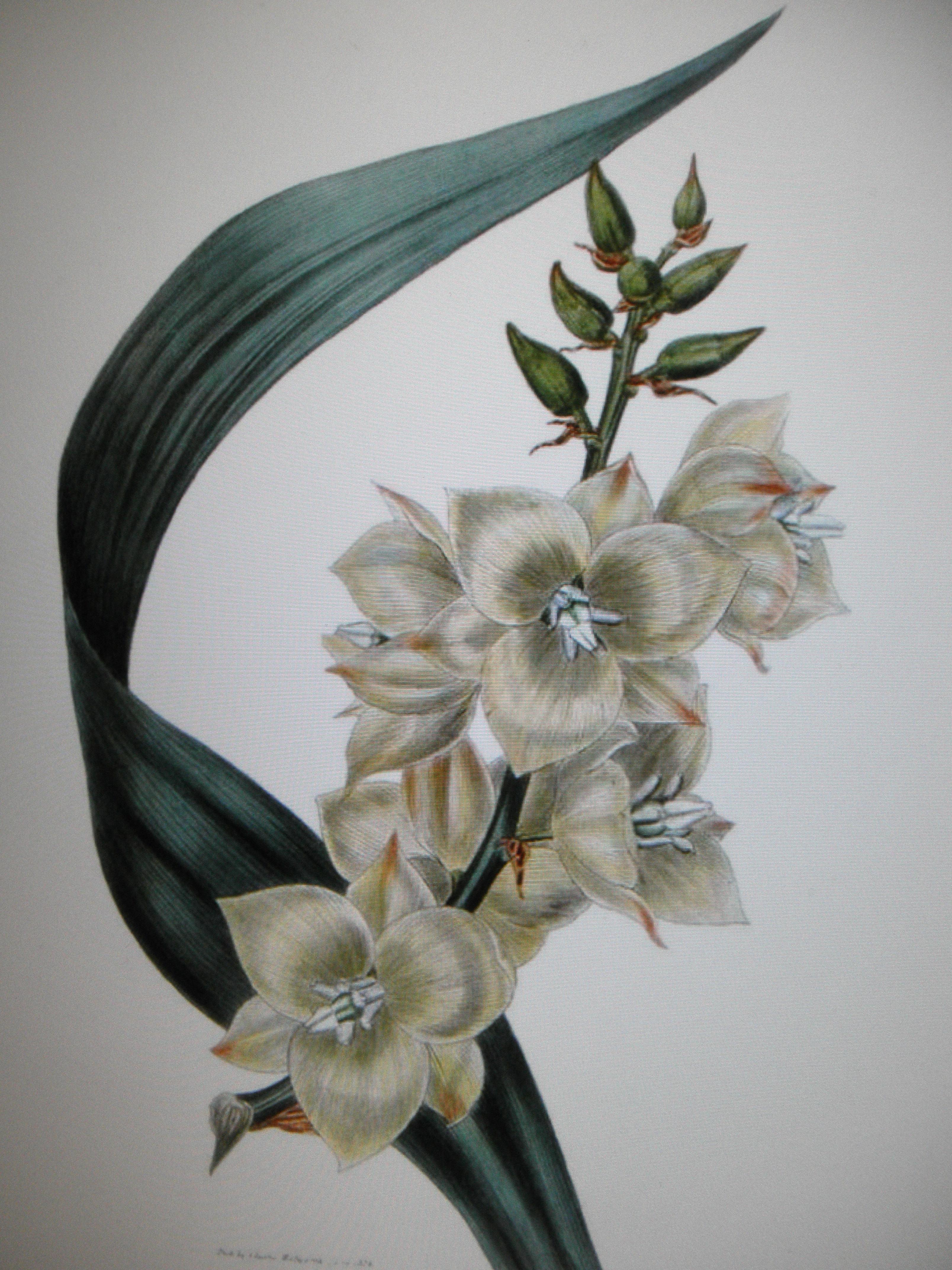 File Fleur Yucca Jpg Wikimedia Commons