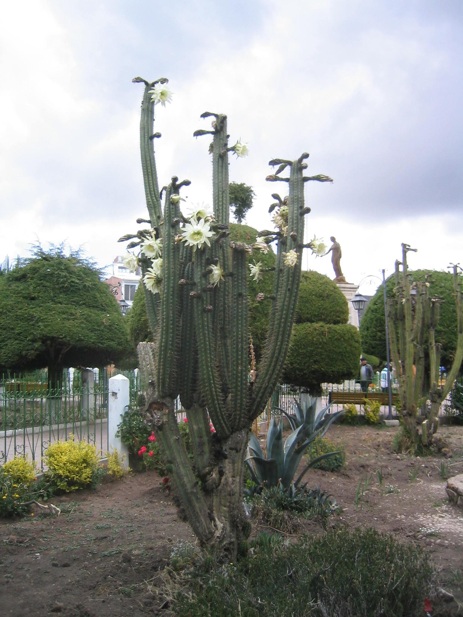 chinopsispachanoianedro,apsychoactivecactus
