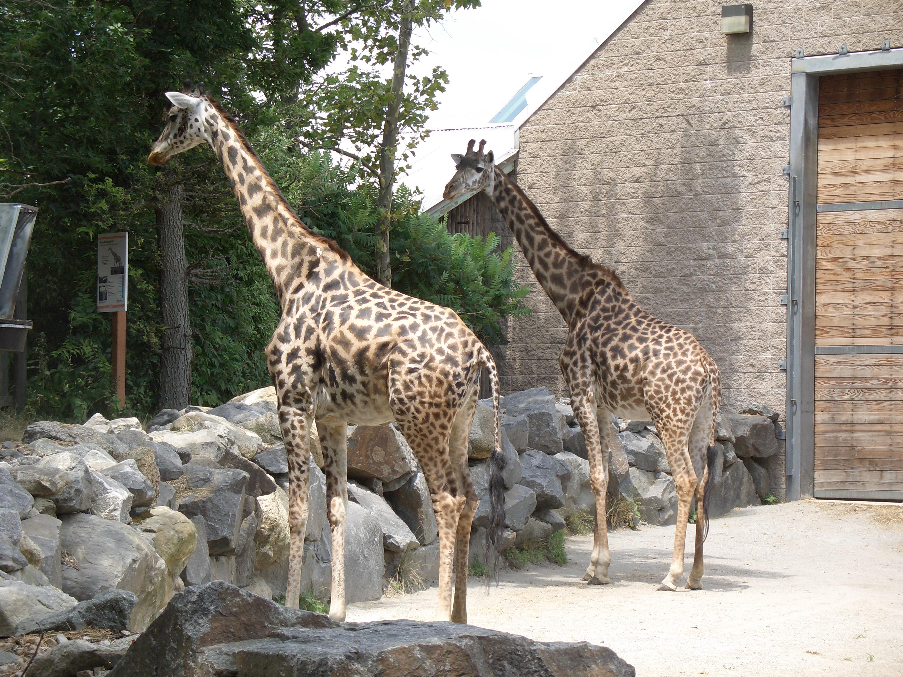 File:Giraffa camelopardalis -Roger Williams Park Zoo, USA-8a.jpg  Zoo