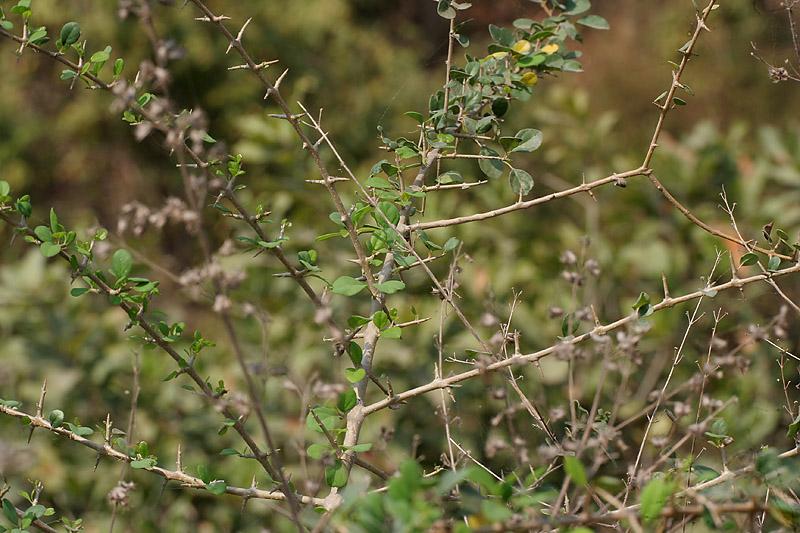 gmelina asiatica (kali shivan) in kinnarsani ws, ap w img 5822.jpg