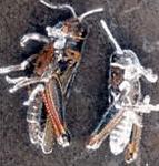 Cavallette uccise da B. bassiana