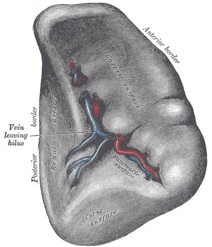 Arteria esplénica - Wikipedia, la enciclopedia libre