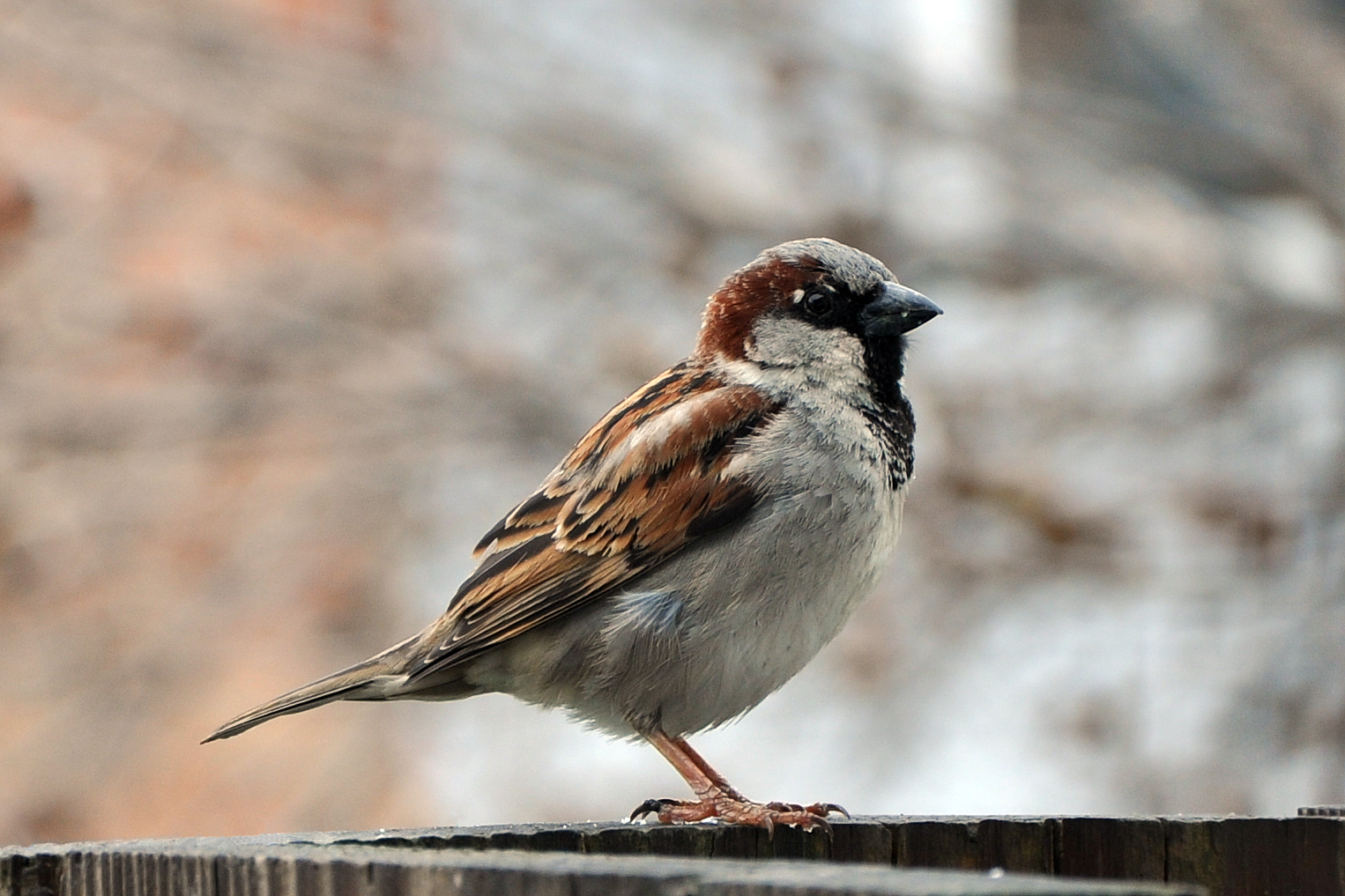 Pictures of house sparrows