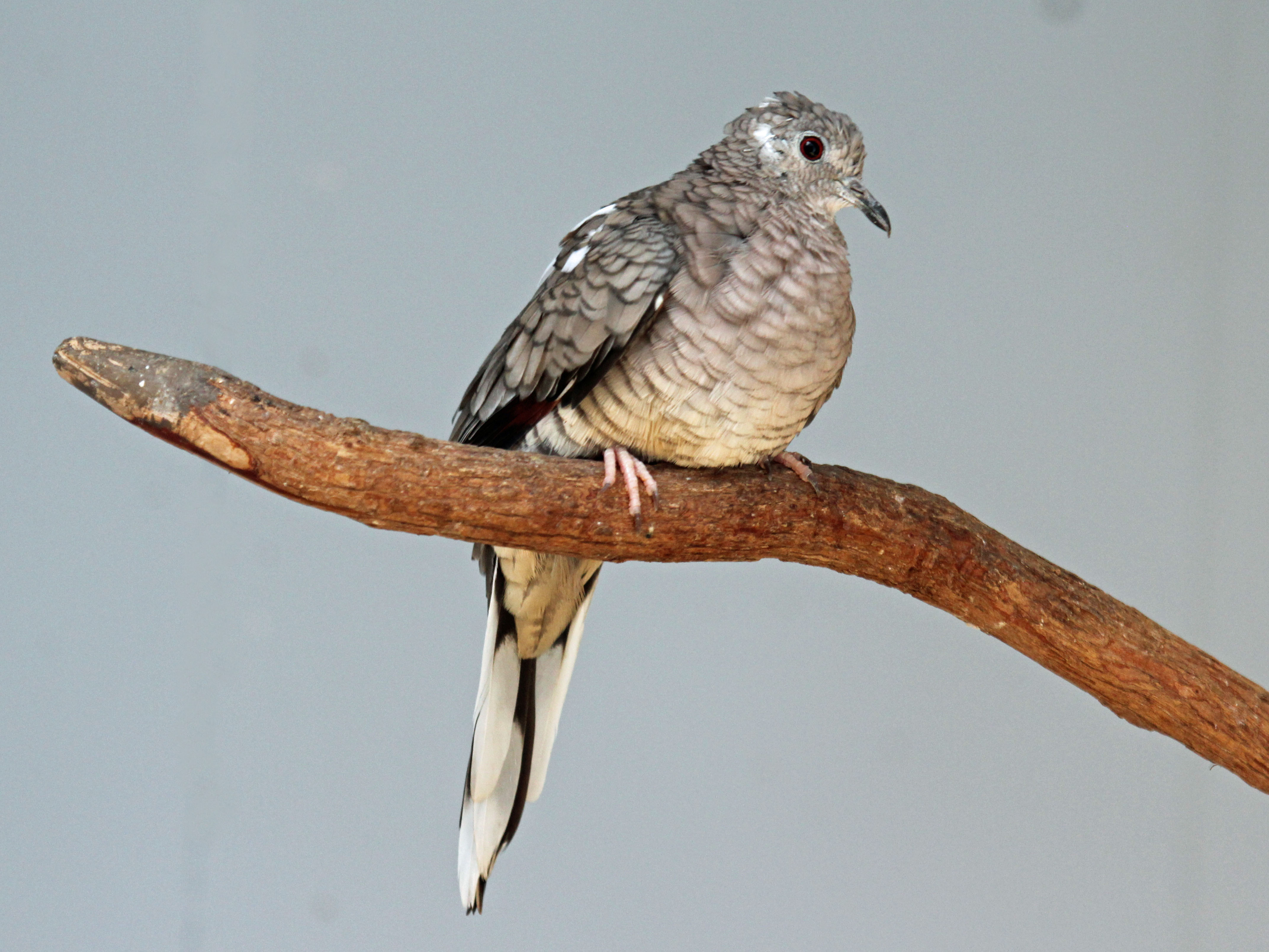 Image result for inca dove""