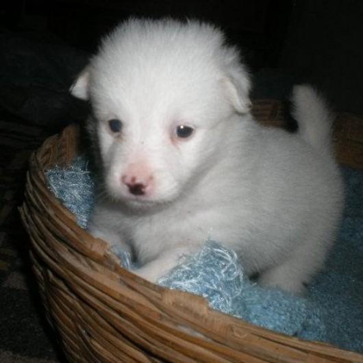 Indian spitz puppy