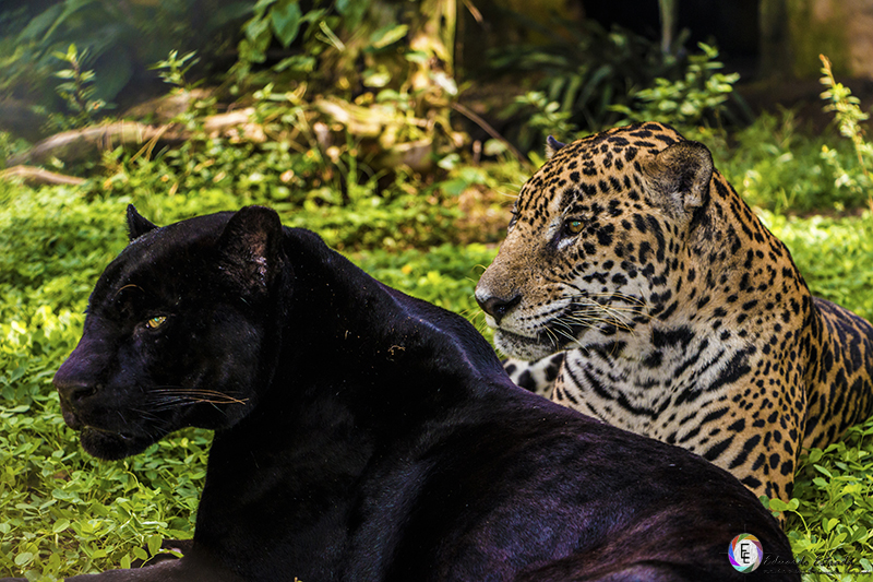 Pantera Negra: Wikipedia, La Enciclopedia Libre