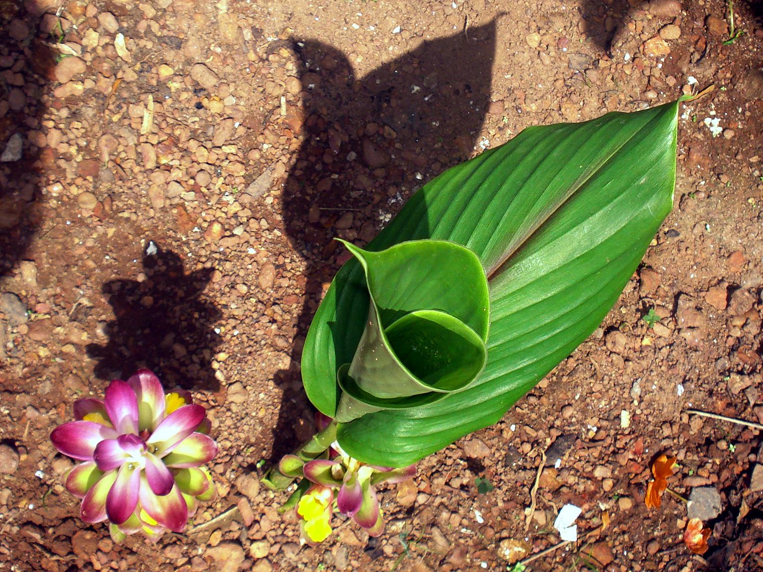 File:Kasthuri manjal plant with flower jpg - Wikimedia Commons