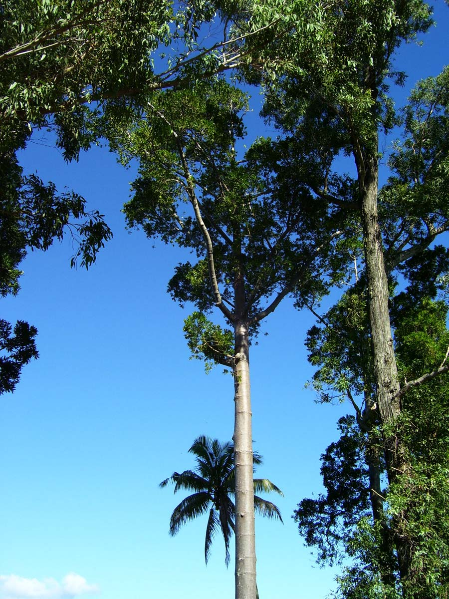 Agathis Sawn Timber ~ Agathis macrophylla wikispecies