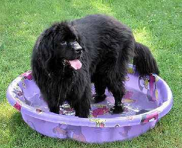 Image Result For Can Newfoundland Dogs