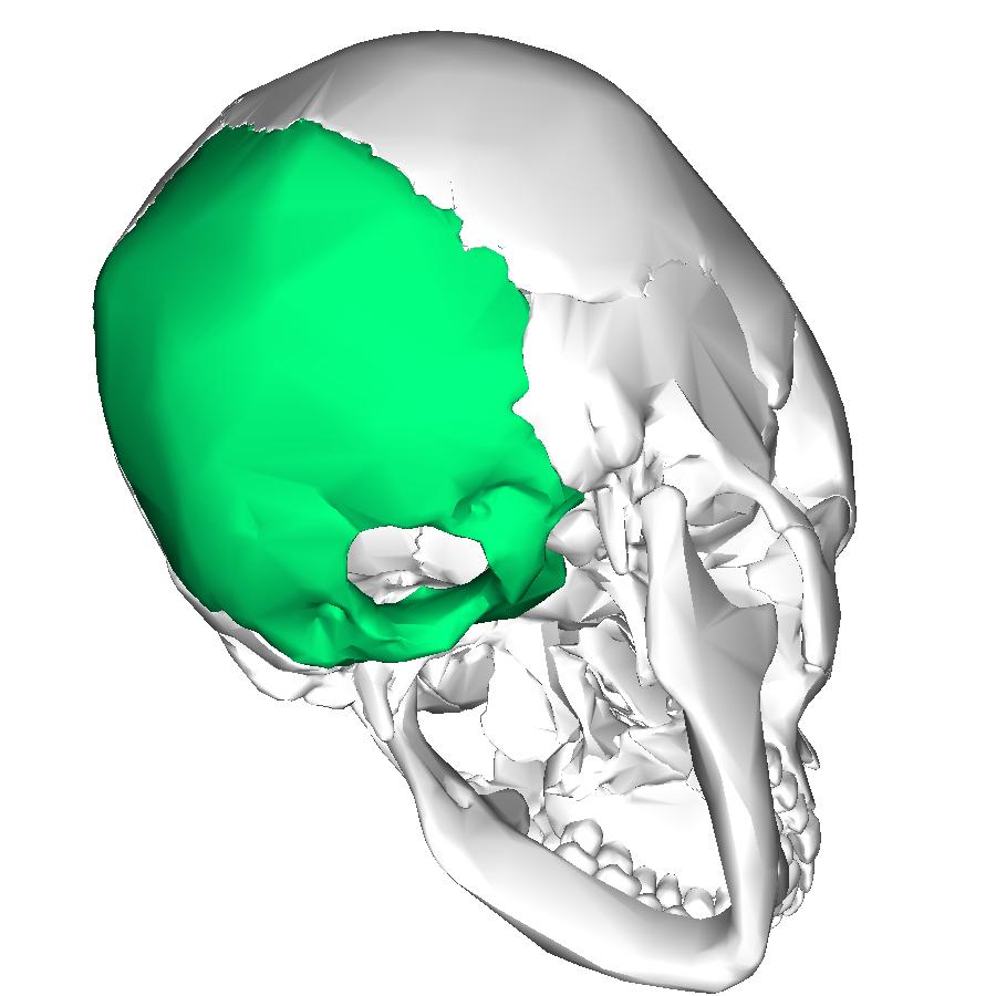 occipital temporal bone Quotes
