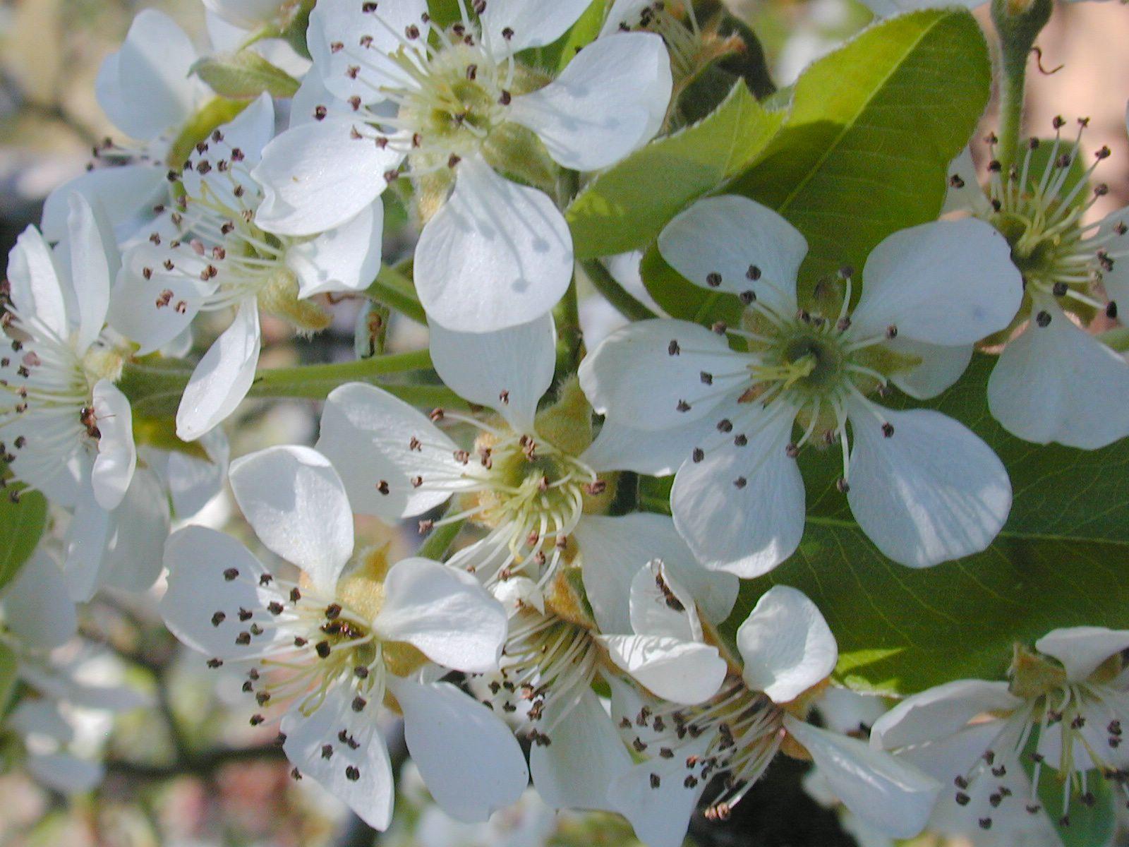 File Pear tree flowers