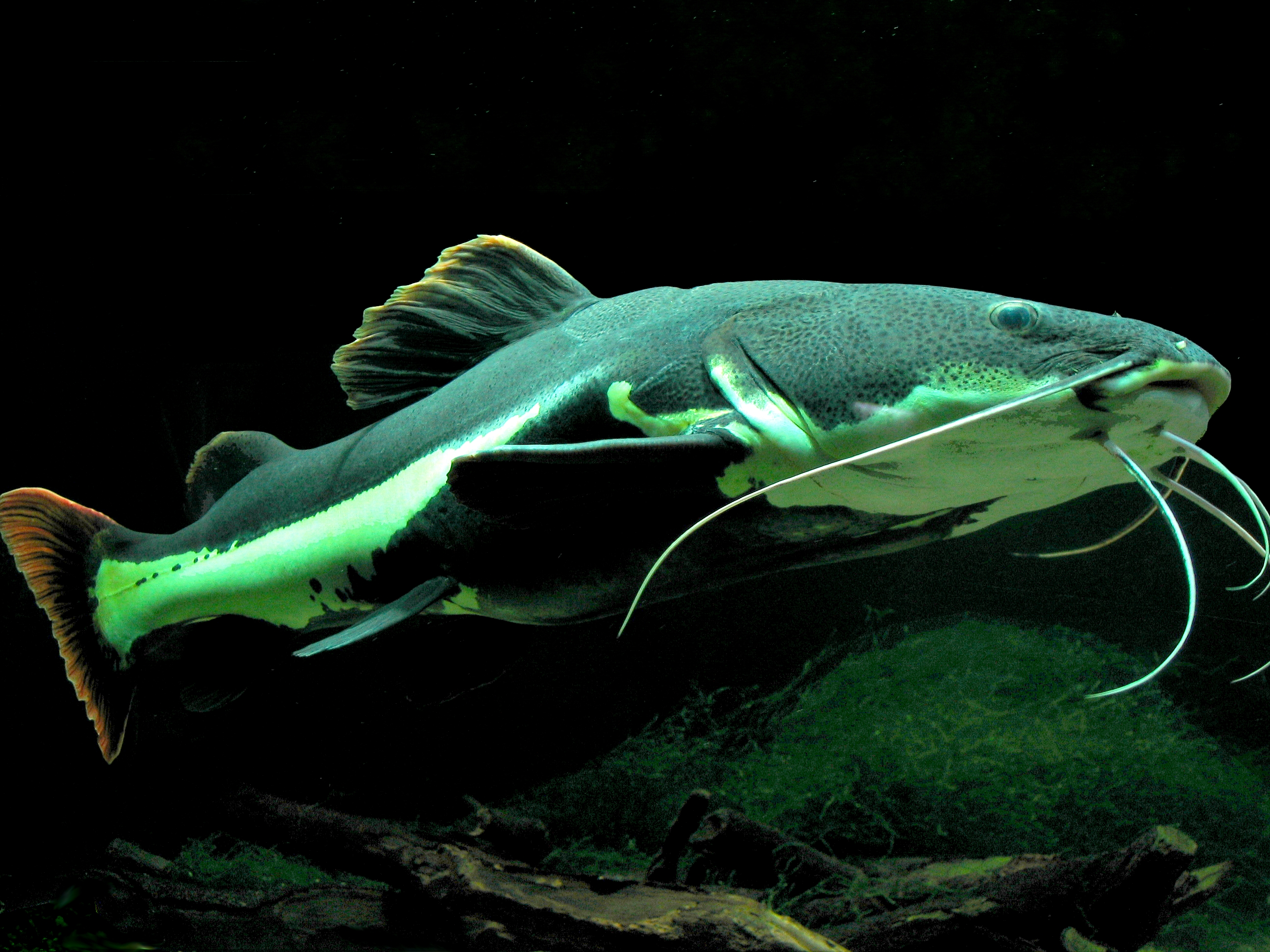 Phractocephalus hemioliopterus-Dixi.jpg