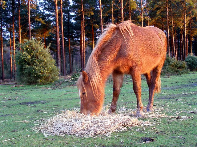 Pony feeding on straw, Longdown Inclosure, New Forest - geograph.org.uk - 306479