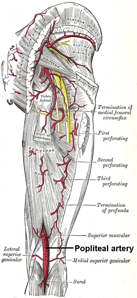 Arteria poplítea - Wikiwand