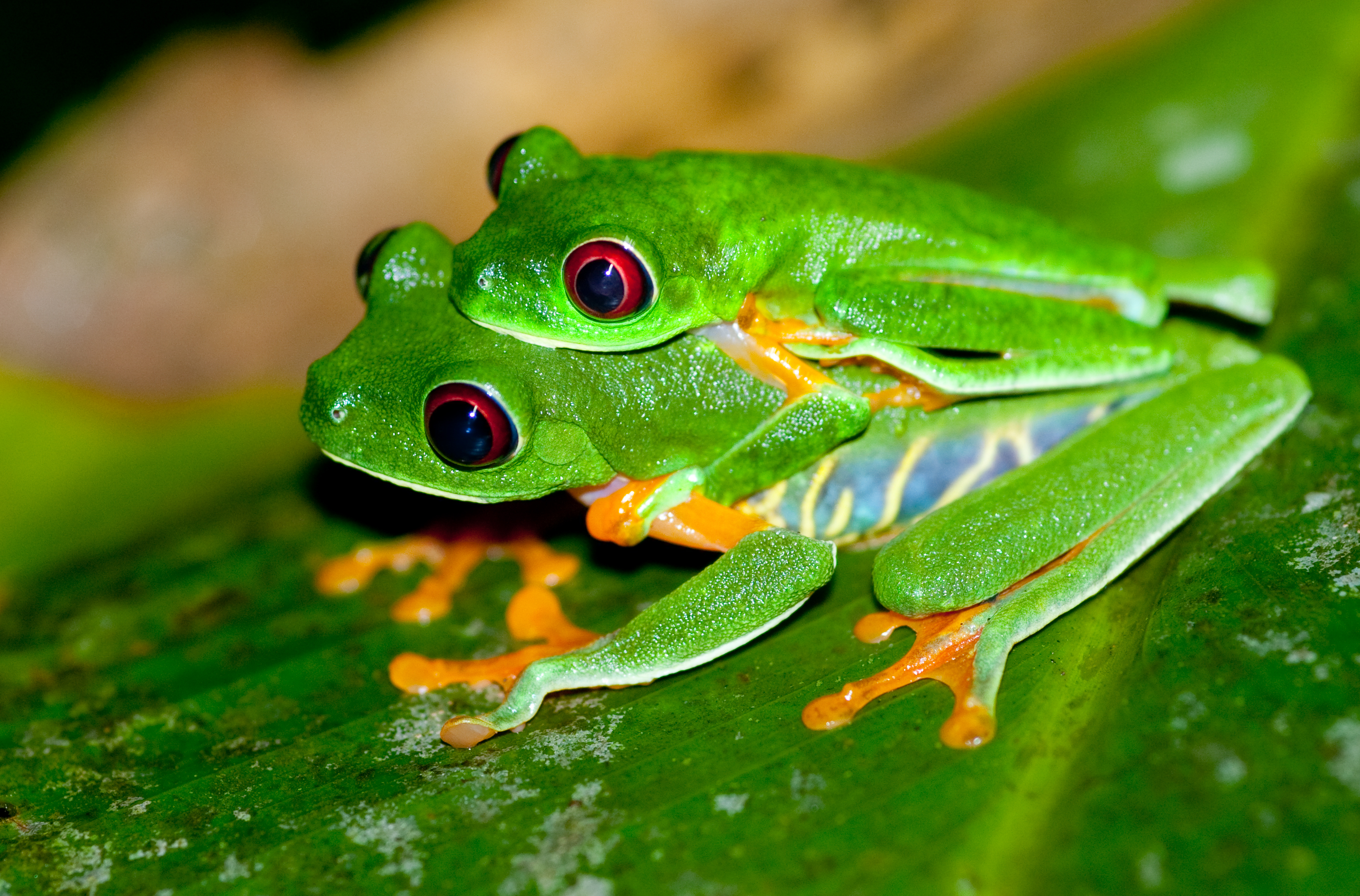 Beautiful Tree Nymphs: Dazzling Red-Eyed Tree Frogs (16 PICS ...