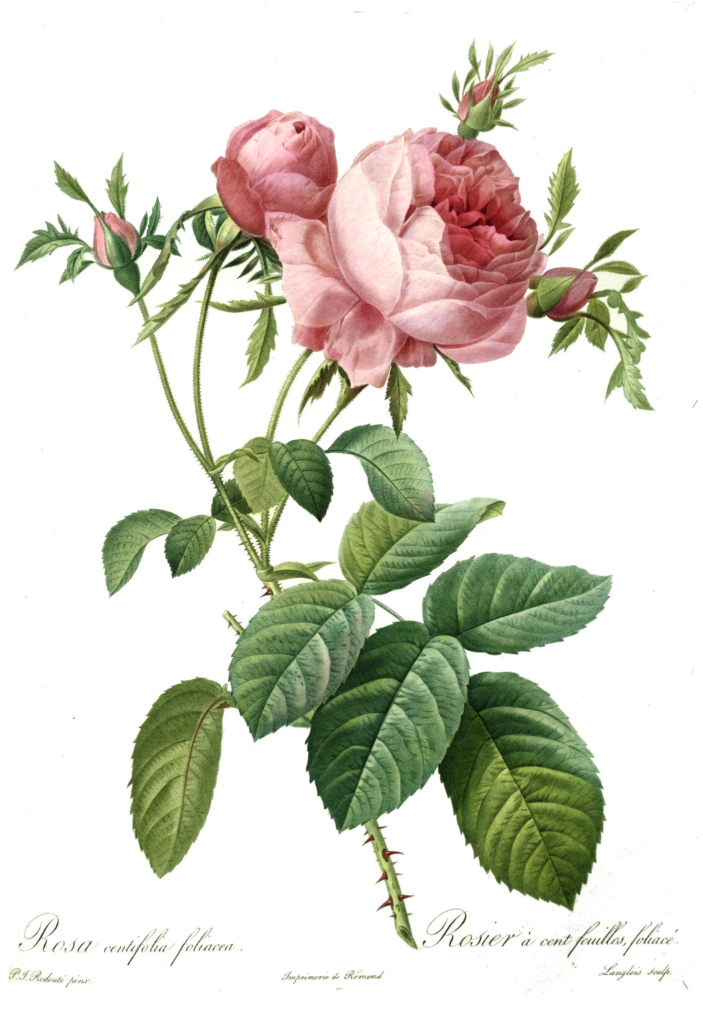 file redoute rosa centifolia wikimedia commons. Black Bedroom Furniture Sets. Home Design Ideas