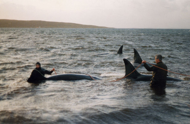 Rescuing Killer Whales (Orcinus orca) at Uyeasound - geograph.org.uk - 671887.jpg