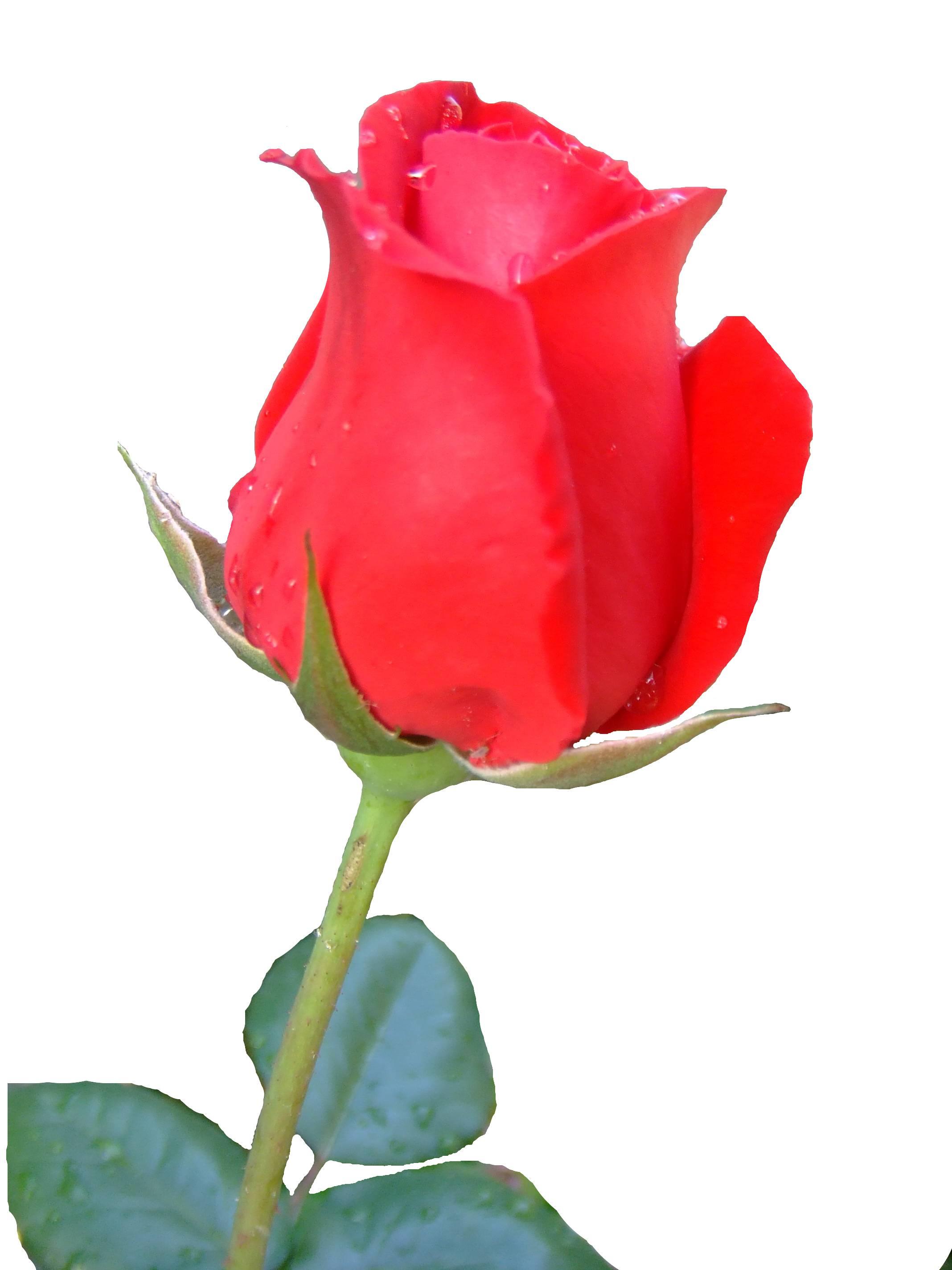Bild einer Rose (Wikimedia Commons)