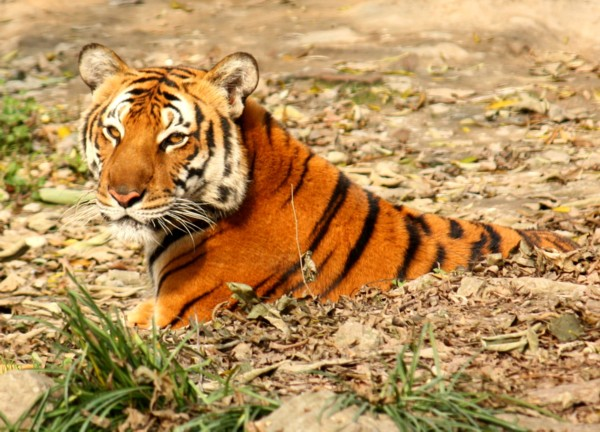 By User: J. Patrick Fischer at wikivoyage shared, CC Tigre de Chine, zoo de Shangai - BY-SA 3.0, https://commons.wikimedia.org/w/index.php?curid=23220276