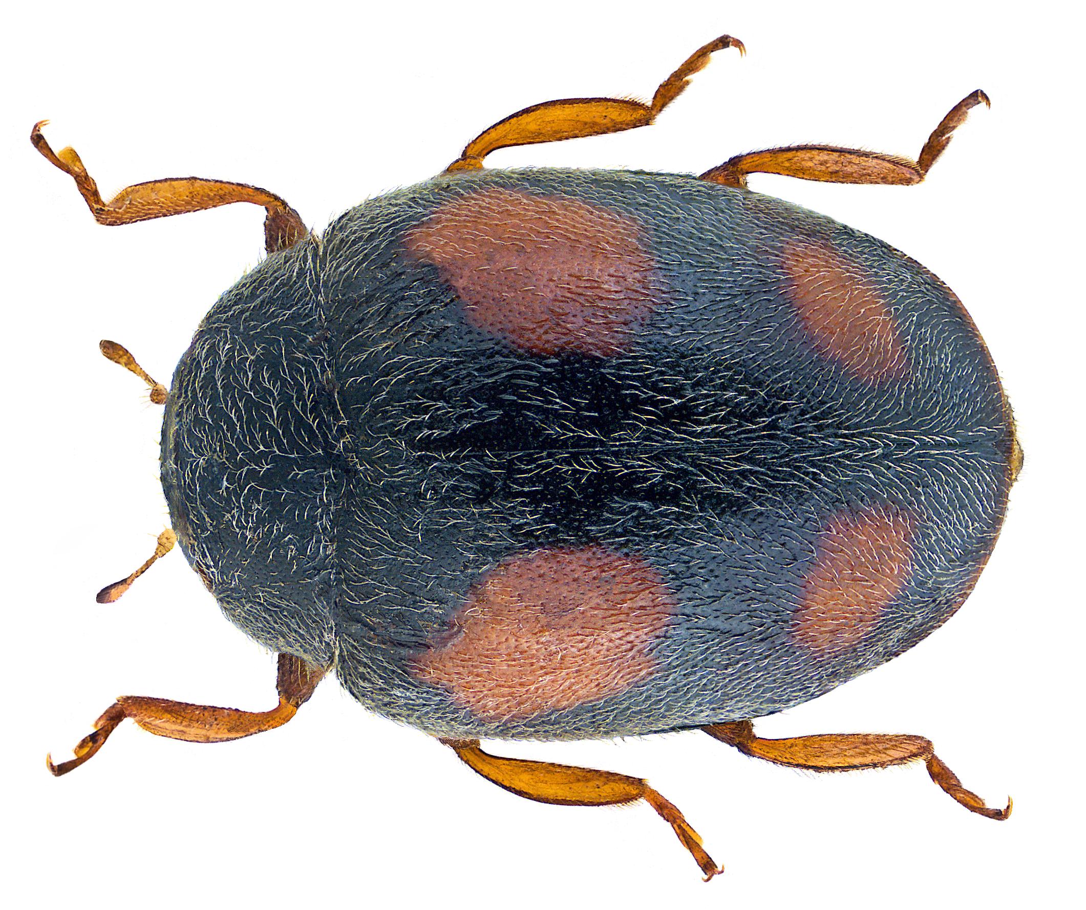 File:Scymnus frontalis (Fabricius, 1787) Male (30248290141).png ...