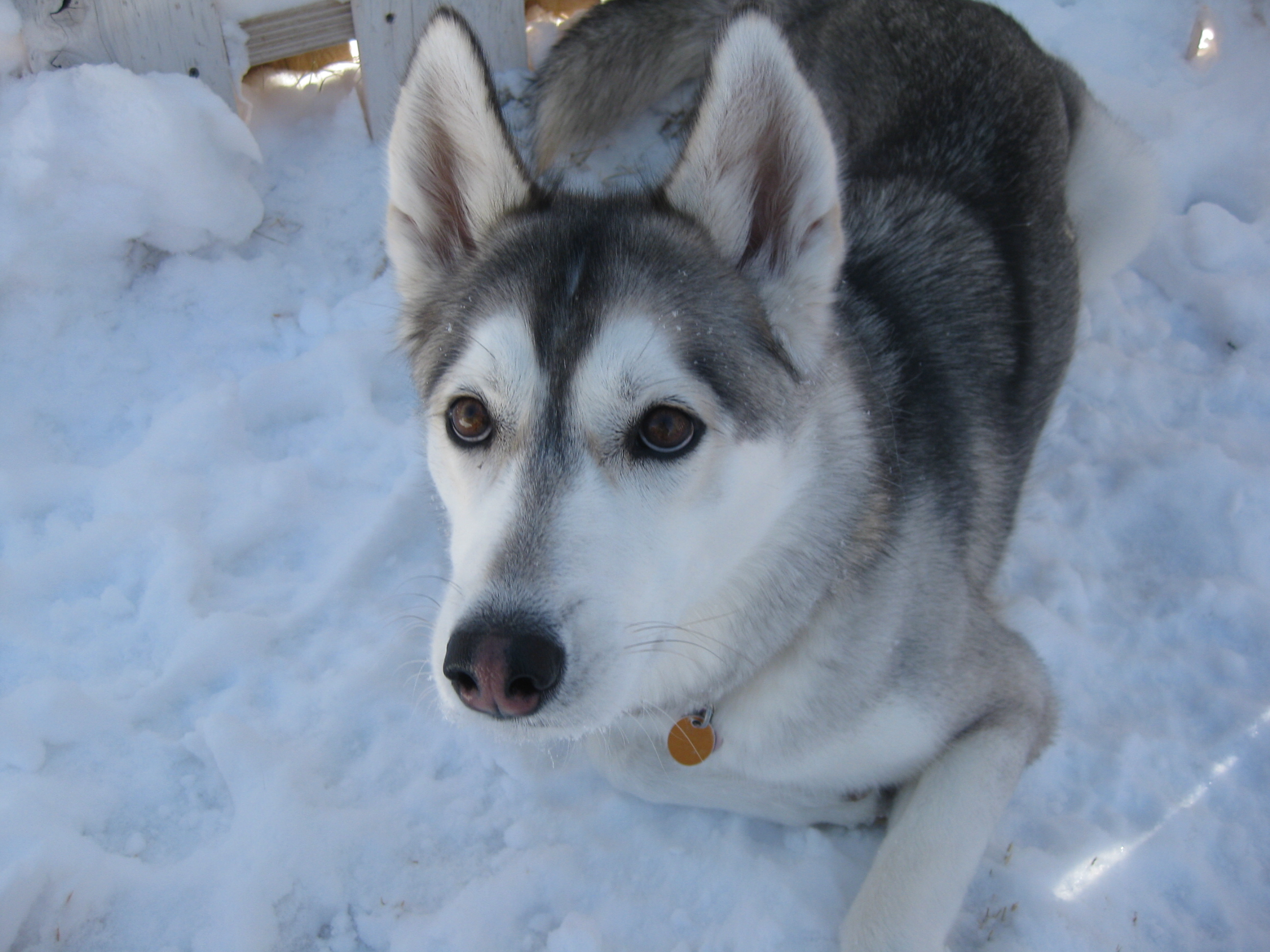 Husky Dog Breeds List