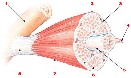 Skeletal muscle.png