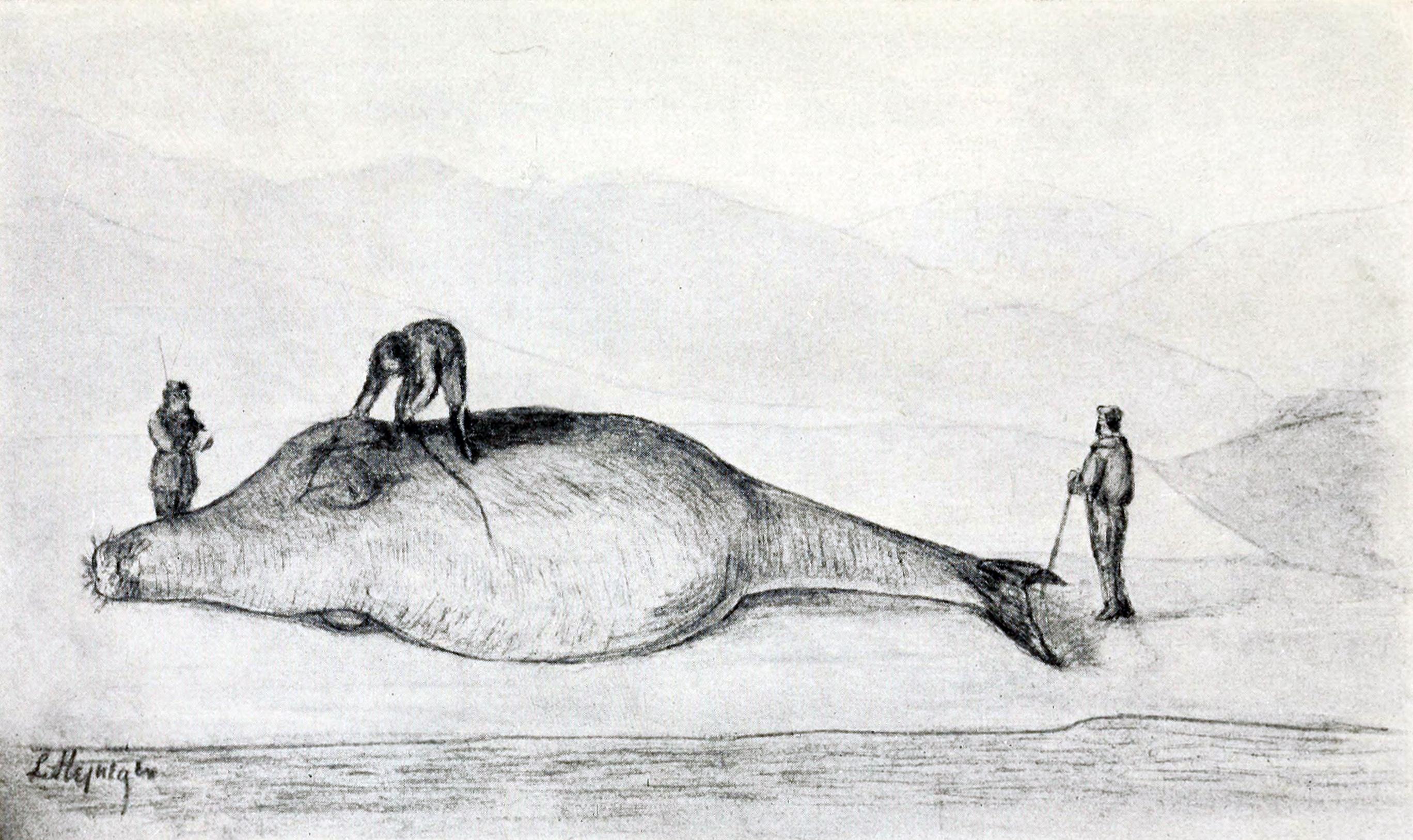 File:Steller measuring a sea cow.jpg