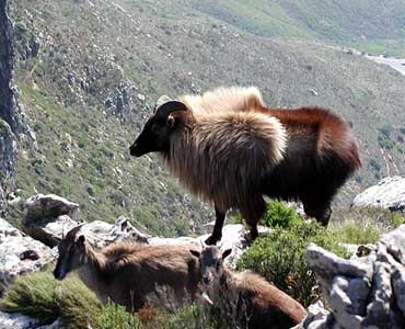 https://upload.wikimedia.org/wikipedia/commons/a/a2/Tahr_Devils_Peak_2004.jpg