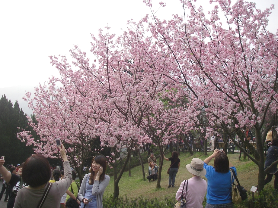 Taiwan_Cherry_Blossom