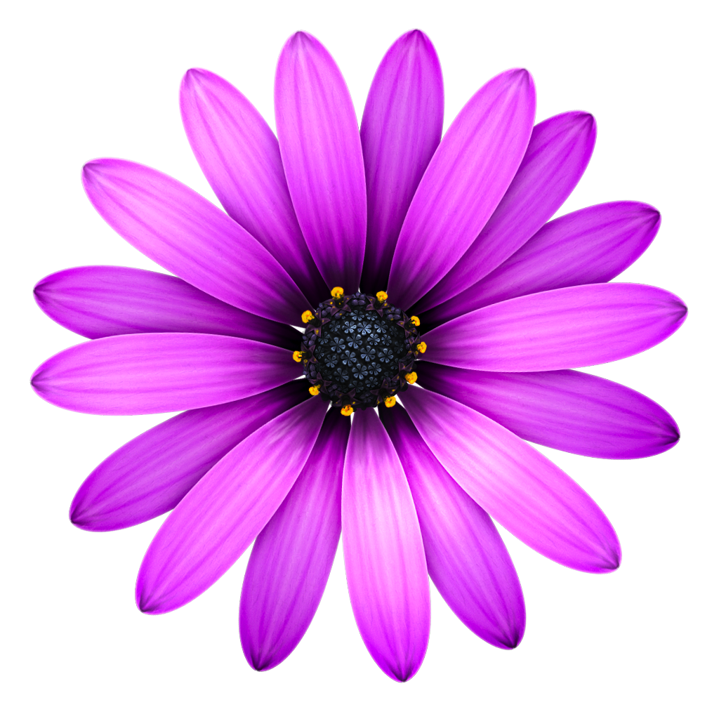 Purple Daisy Flower: Wikipedia