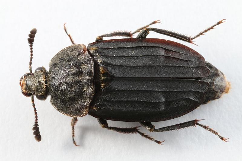 File:Thanatophilus sinuatus (Silphidae) - (imago), Texel, the Netherlands.jpg