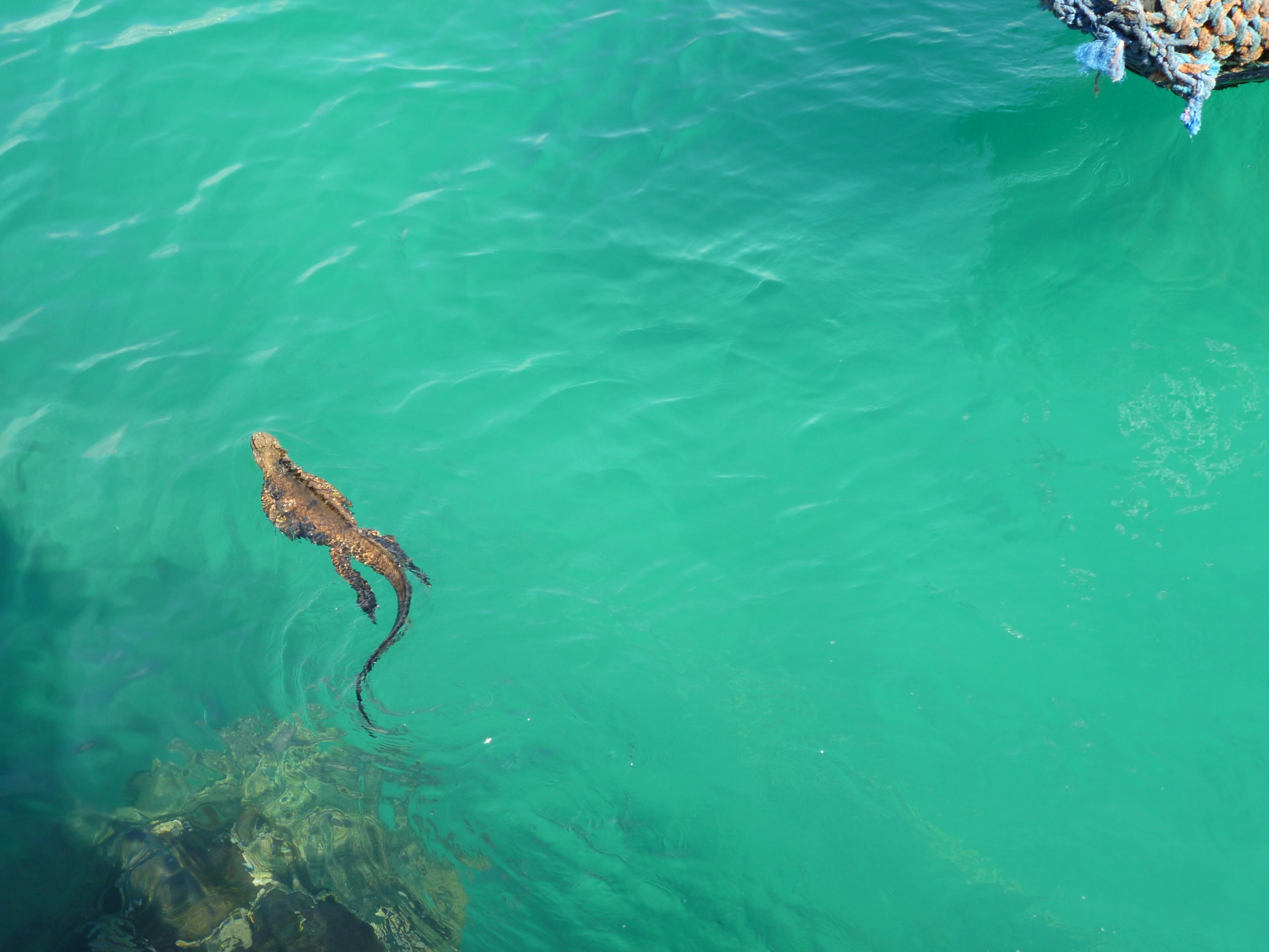 Iguana swimming in blue-green water