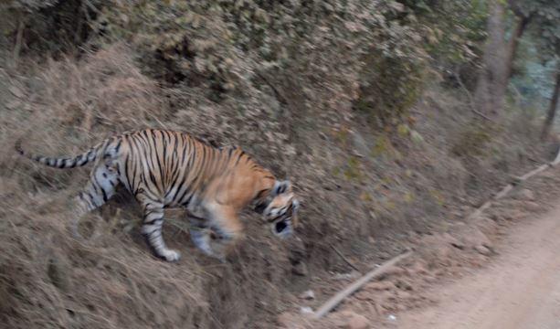 A Tiger inside Sariska Tiger Reserve