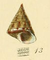 <i>Jujubinus striatus</i> species of mollusc