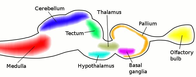 Filevertebrate brain cartoong wikimedia commons vertebrate brain cartoong ccuart Gallery
