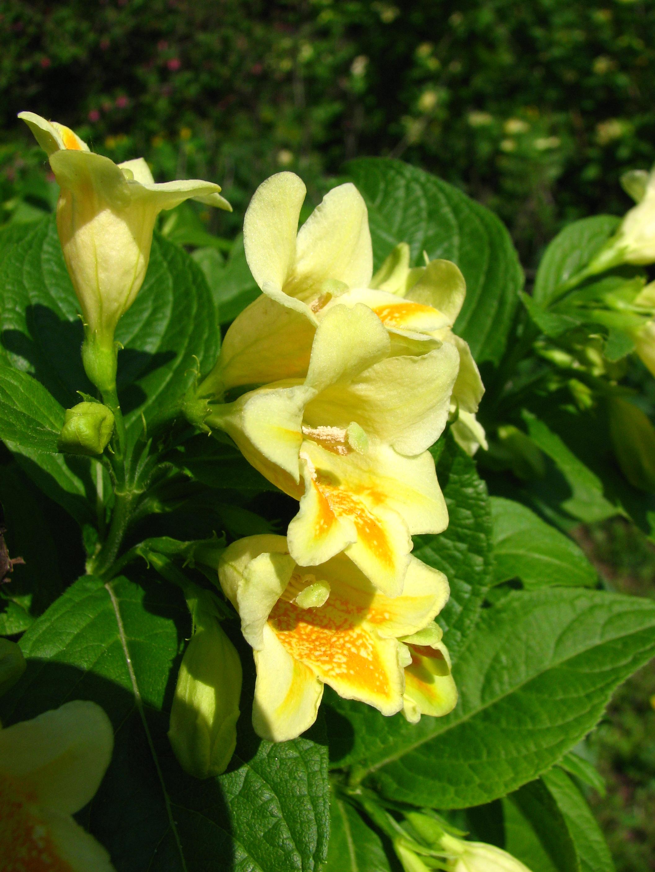 File Weigela Middendorffiana Flowers 03 Jpg