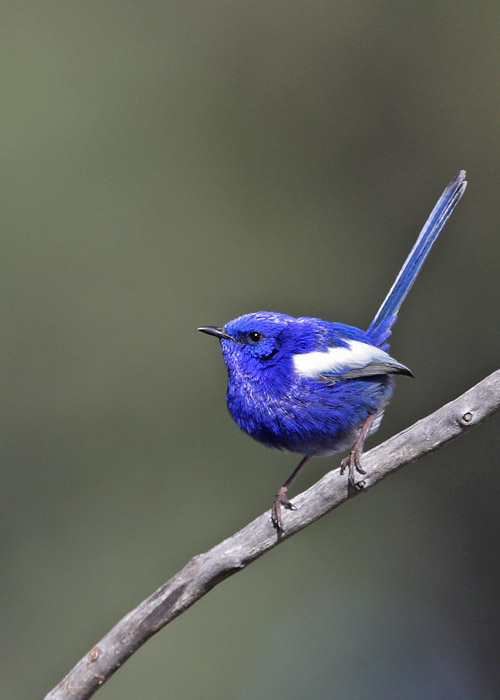 White Winged Fairy Wren File:White-wing...