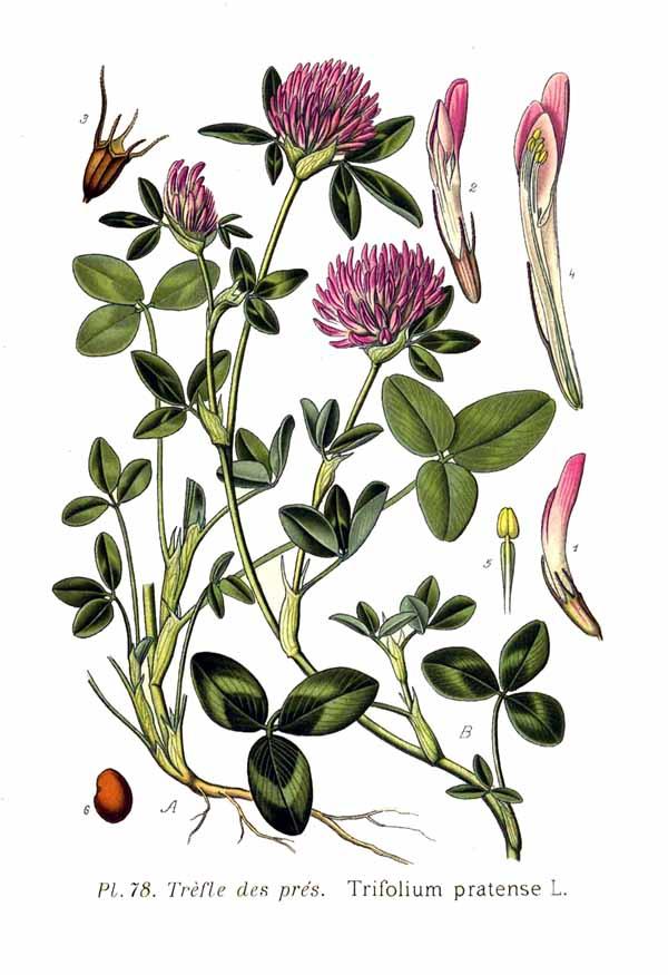 File:78 Trifolium pratense L.jpg - Wikimedia Commons
