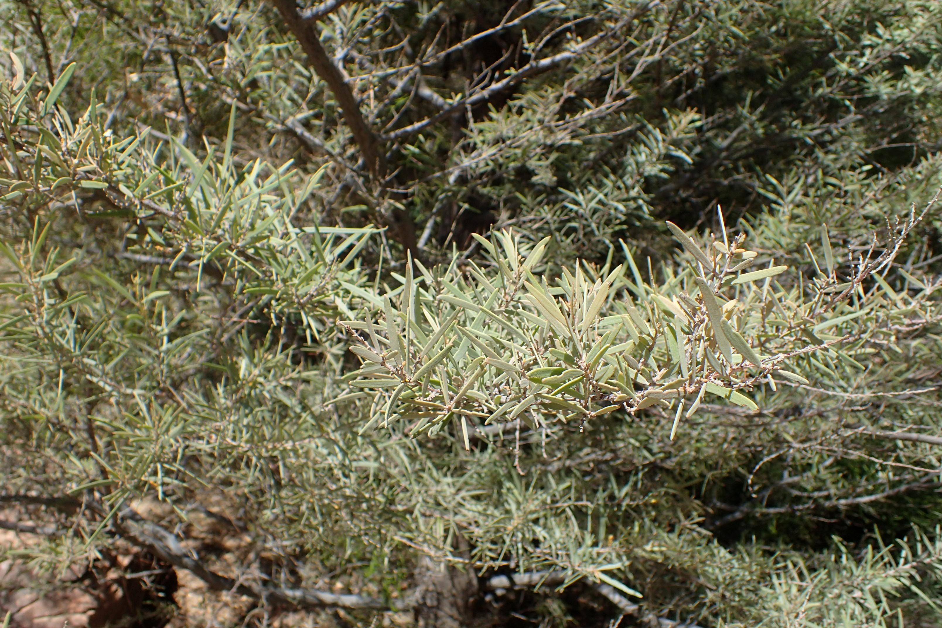 Fileacacia Aneura Kz2jpg Wikimedia Commons