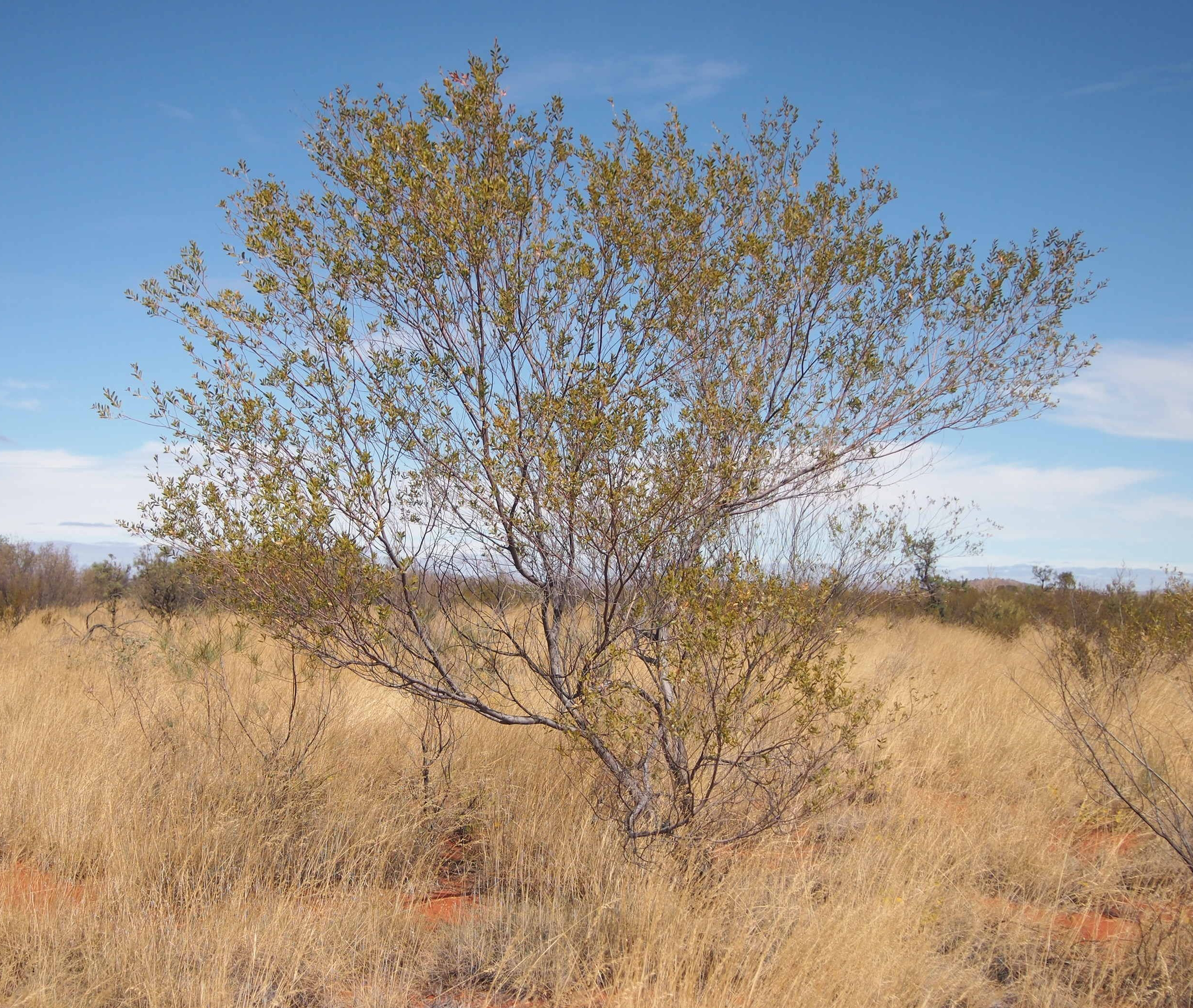 Acacia Maitlandii Vikipediya