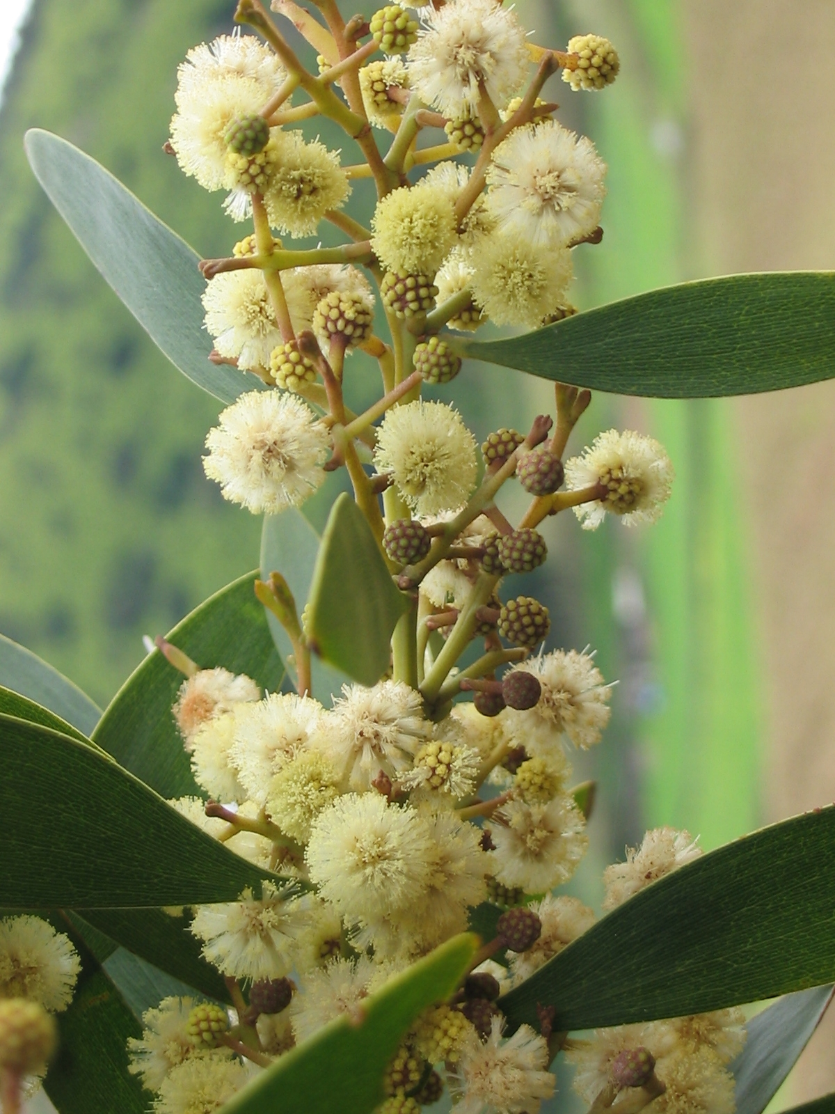 Resultado de imagen para acacias flores