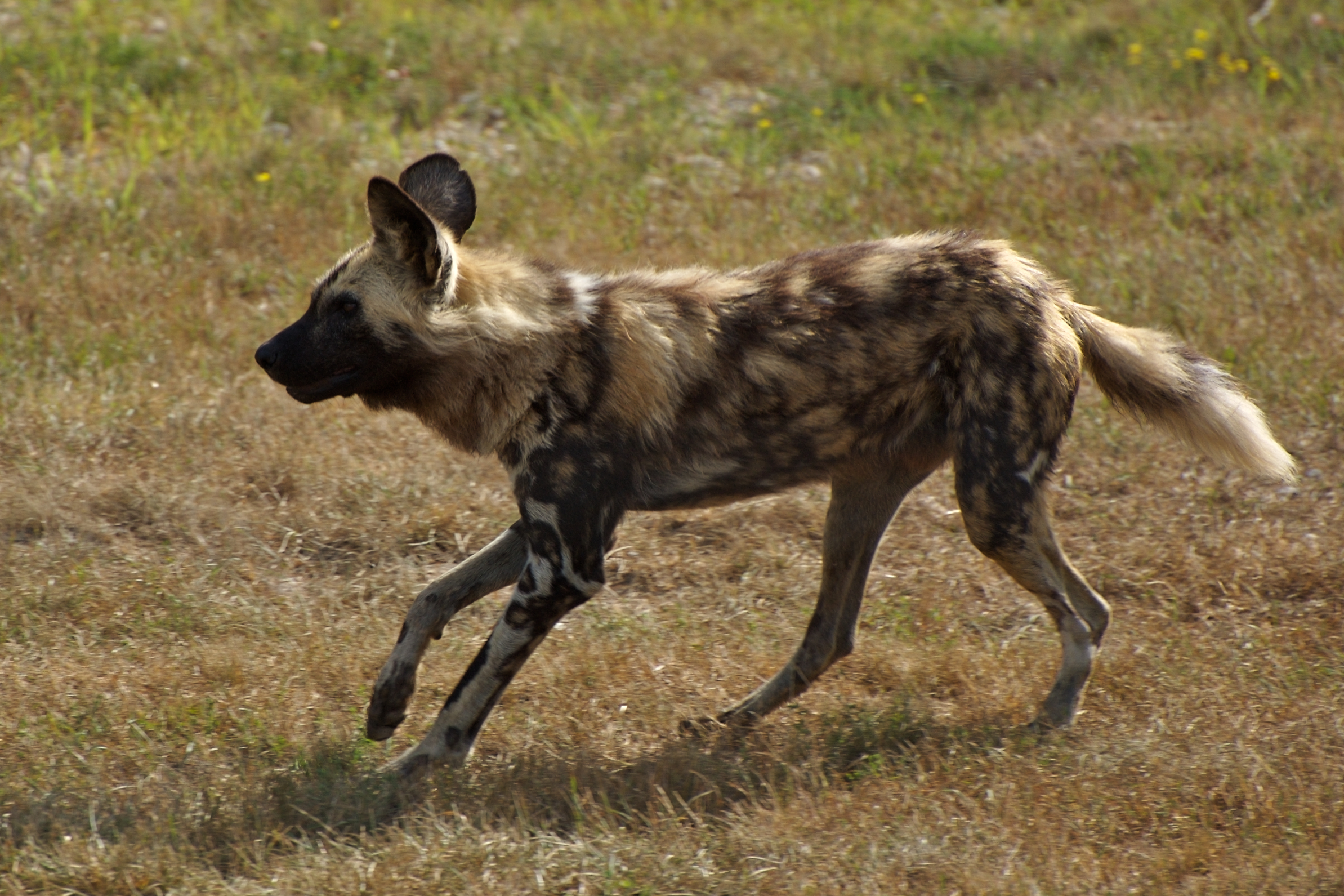 African Wild Dog Bite Force