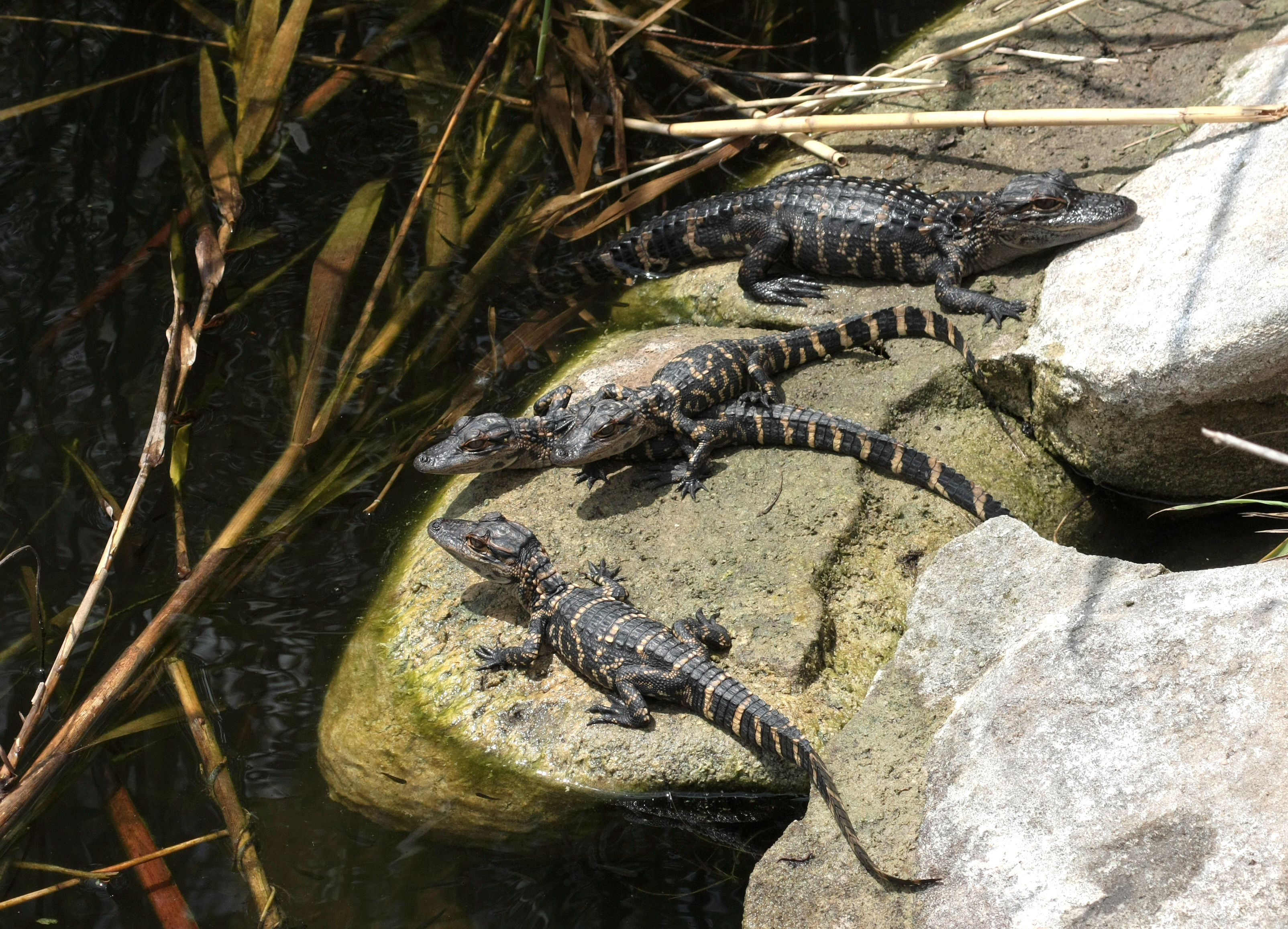 file alligator mississippiensis babies jpg wikimedia commons