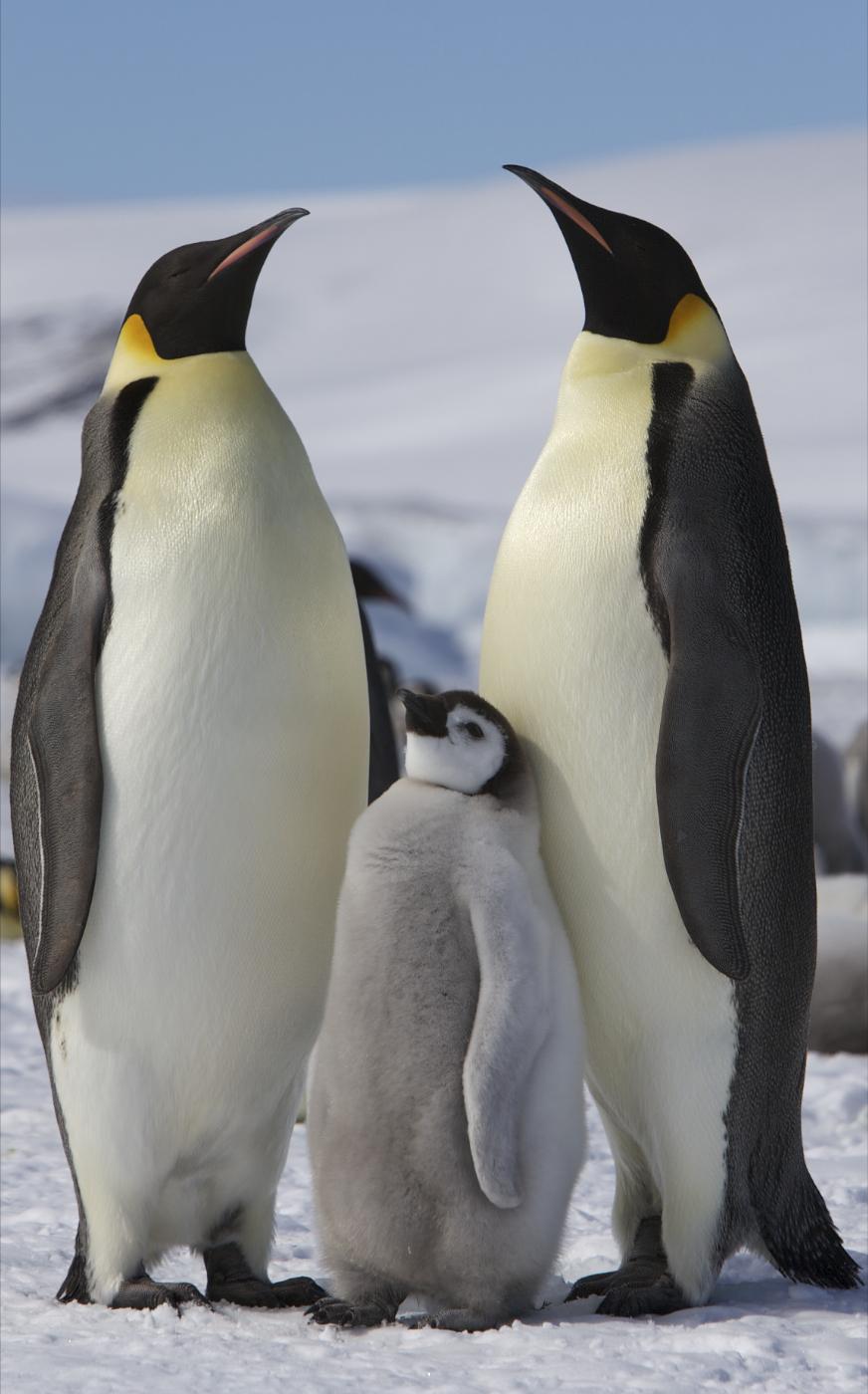 Le pingouin et l'ours polaire
