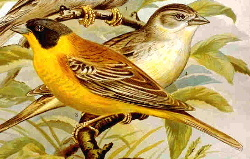 Black-headed Bunting.jpg