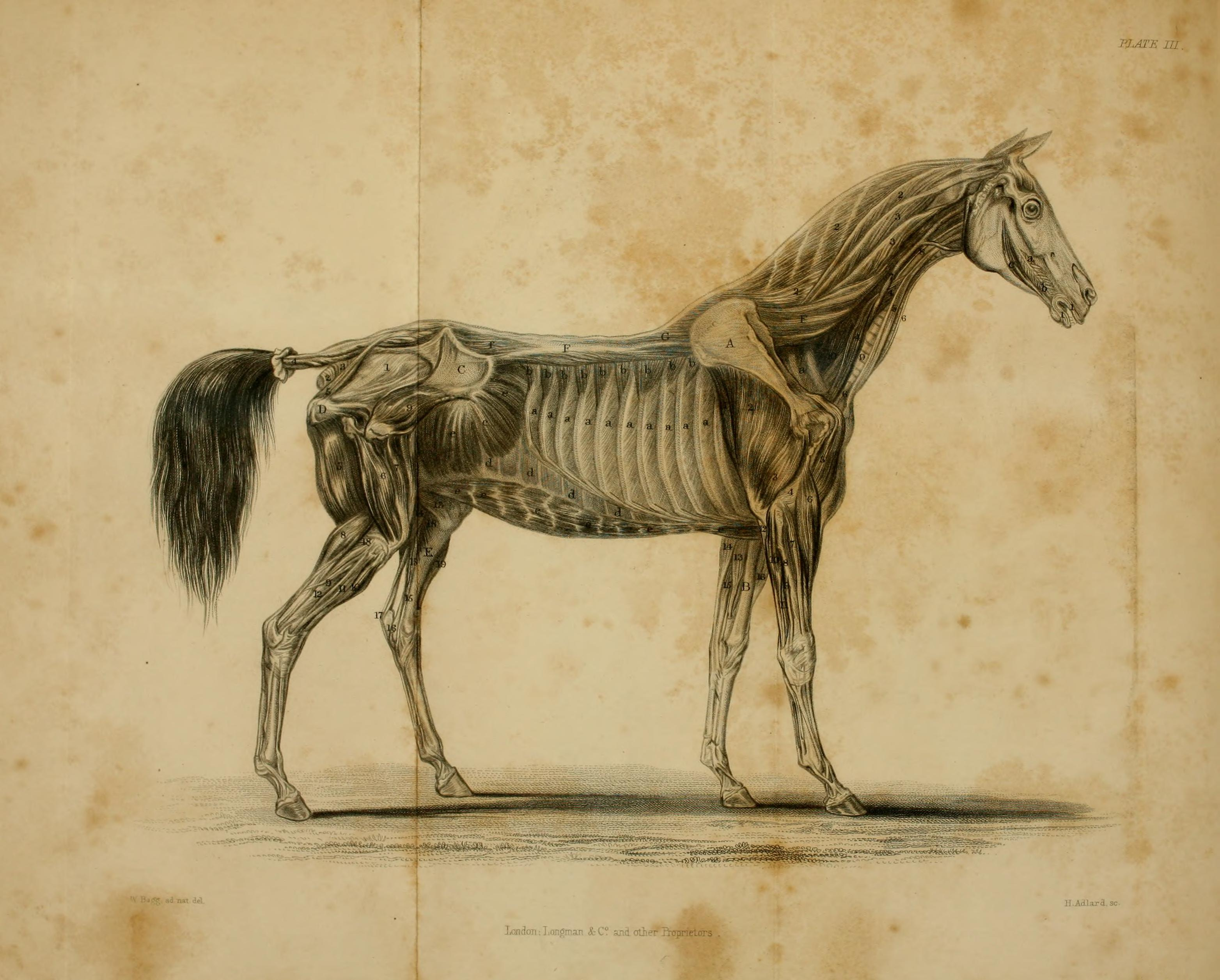 File:Blaine\'s Outlines of the veterinary art, or, A treatise on the ...