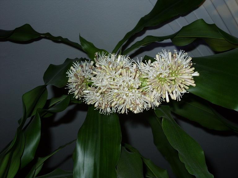 file bluete dracaena fragrans jpg wikimedia commons. Black Bedroom Furniture Sets. Home Design Ideas