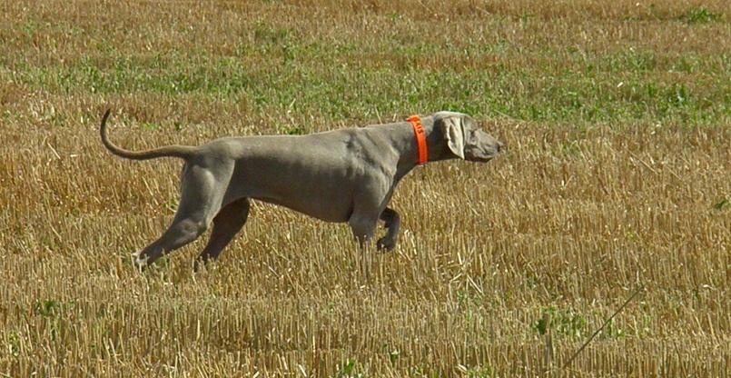 Häufig Chien de chasse — Wikipédia PQ36