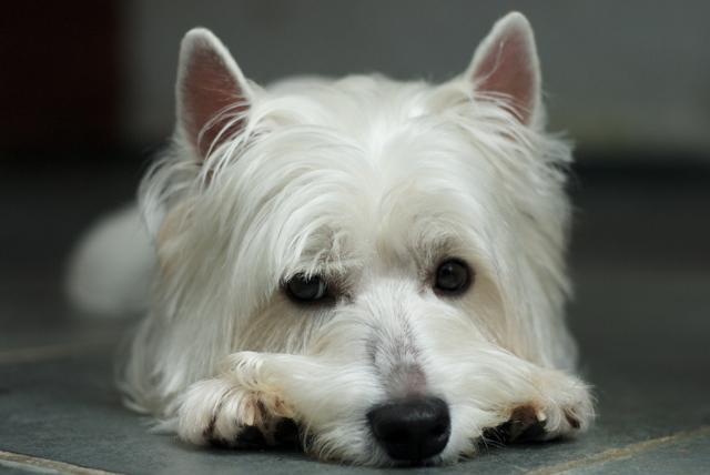 File:Bruce the West Highland White Terrier.jpg